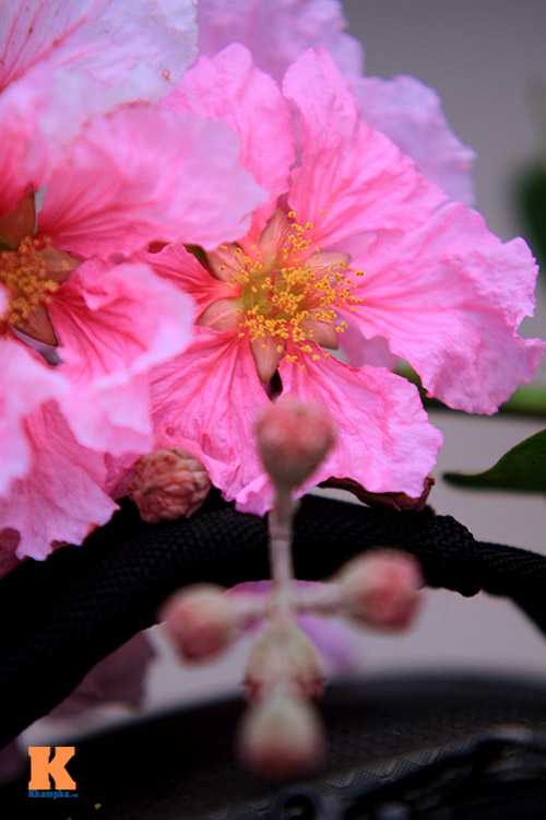 Ngắm vẻ đẹp bằng lăng hồng ở Hà Nội-13