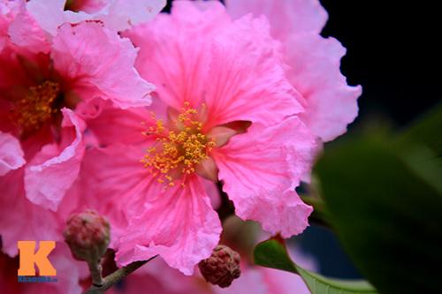 Ngắm vẻ đẹp bằng lăng hồng ở Hà Nội-3