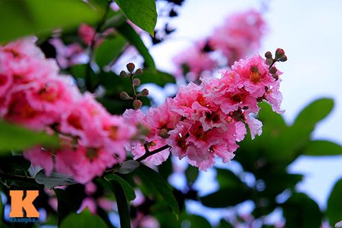 Ngắm vẻ đẹp bằng lăng hồng ở Hà Nội-2