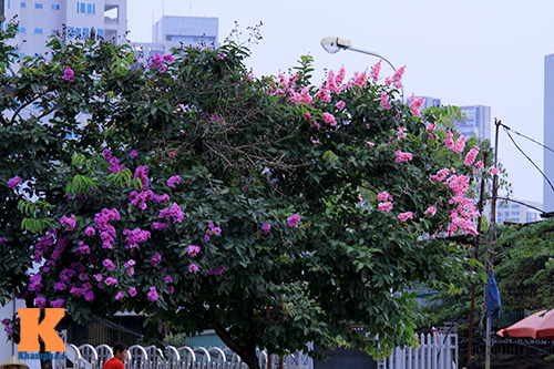 Ngắm vẻ đẹp bằng lăng hồng ở Hà Nội-1