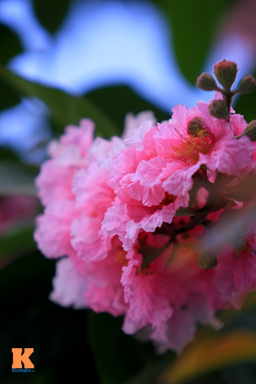 Ngắm vẻ đẹp bằng lăng hồng ở Hà Nội-8