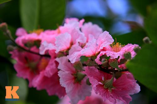 Ngắm vẻ đẹp bằng lăng hồng ở Hà Nội-7