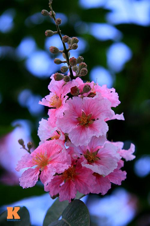 Ngắm vẻ đẹp bằng lăng hồng ở Hà Nội-5
