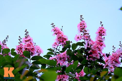 Ngắm vẻ đẹp bằng lăng hồng ở Hà Nội-6