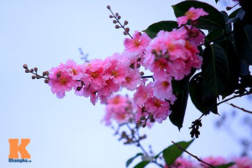 Ngắm vẻ đẹp bằng lăng hồng ở Hà Nội-11
