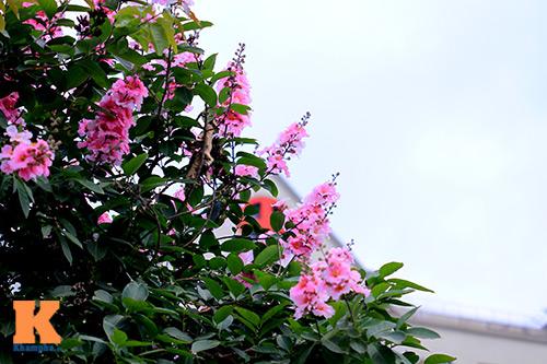 Ngắm vẻ đẹp bằng lăng hồng ở Hà Nội-4