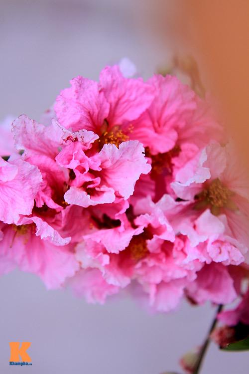 Ngắm vẻ đẹp bằng lăng hồng ở Hà Nội-10
