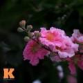 Tin tức - Ngắm vẻ đẹp bằng lăng hồng ở Hà Nội
