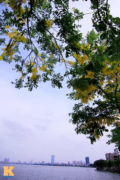 """Bò cạp vàng """"đón nắng"""" dưới trời Hà Nôi - 2"""