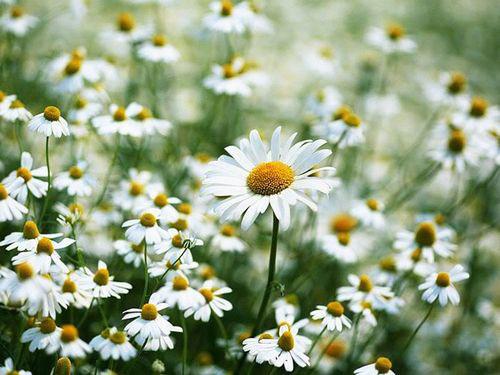 hoa tiet cuc hoa mi khien gioi tre viet me dam - 1