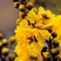 Tin tức - Hà Nội rực rỡ sắc hoa điệp vàng