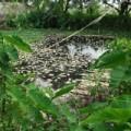 Tin tức - Hà Nam: Cá chết bất thường, nổi trắng sông Nhuệ