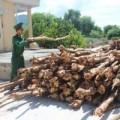Tin tức - Thương lái đổ xô mua cây dẹp