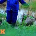 Tin tức - HN: Rau muống trồng trên mương nước thải