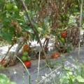 Mua sắm - Giá cả - 500 đồng/kg cà chua, nông dân hái cho bò ăn