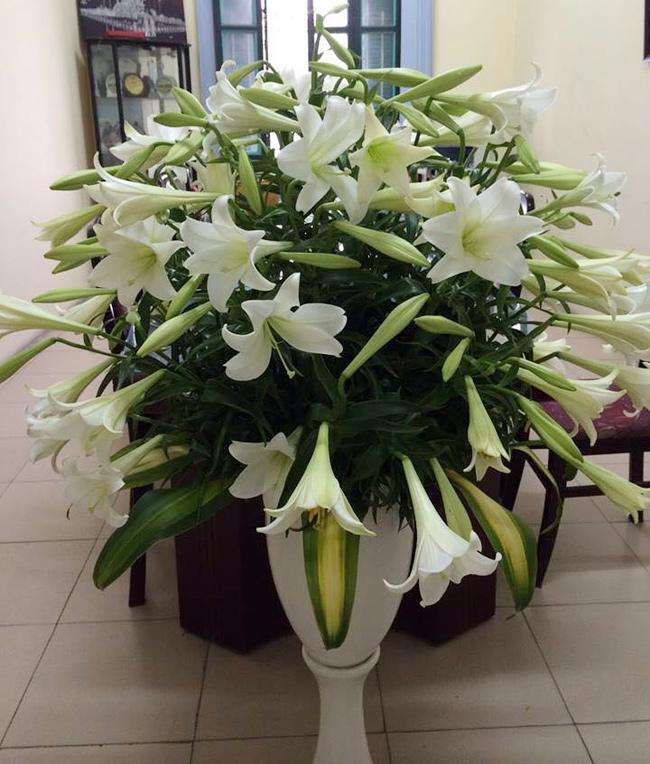 Bình hoa loa kèn cỡ đại nhà chị Nguyễn Thúy Minh - Giáo viên tiểu học