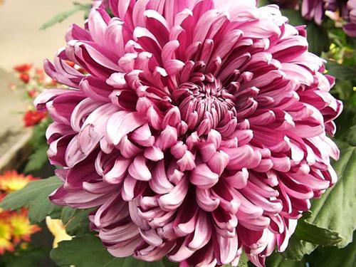 soi loai hoa dem lai may man cho 12 cung hoang dao - 8