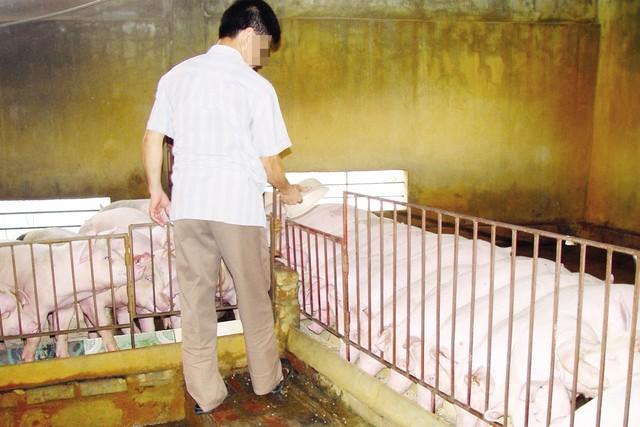 """Kinh ngạc loại """"thuốc"""" vỗ lợn tăng 30- 40kg/tháng-1"""