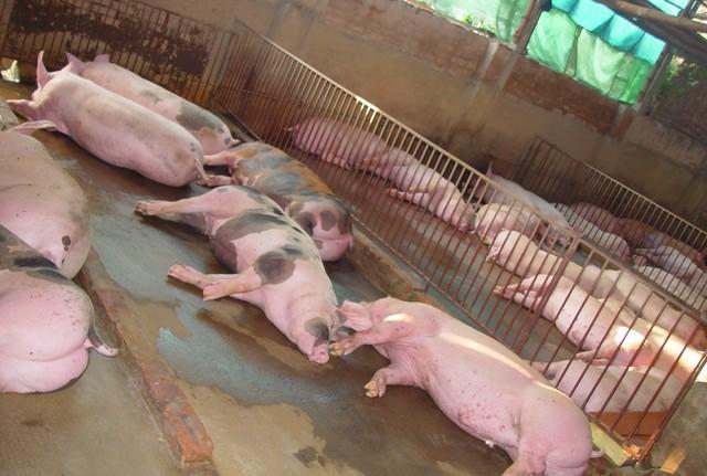 """Kinh ngạc loại """"thuốc"""" vỗ lợn tăng 30- 40kg/tháng-2"""