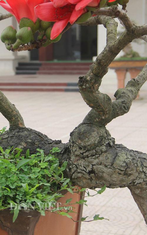 """ngam cay gao """"nhi"""" no hoa khien dan choi bonsai me man - 3"""