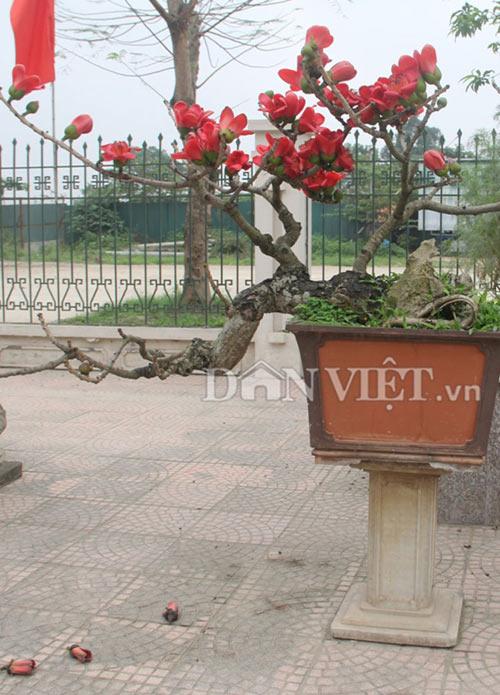 """ngam cay gao """"nhi"""" no hoa khien dan choi bonsai me man - 9"""