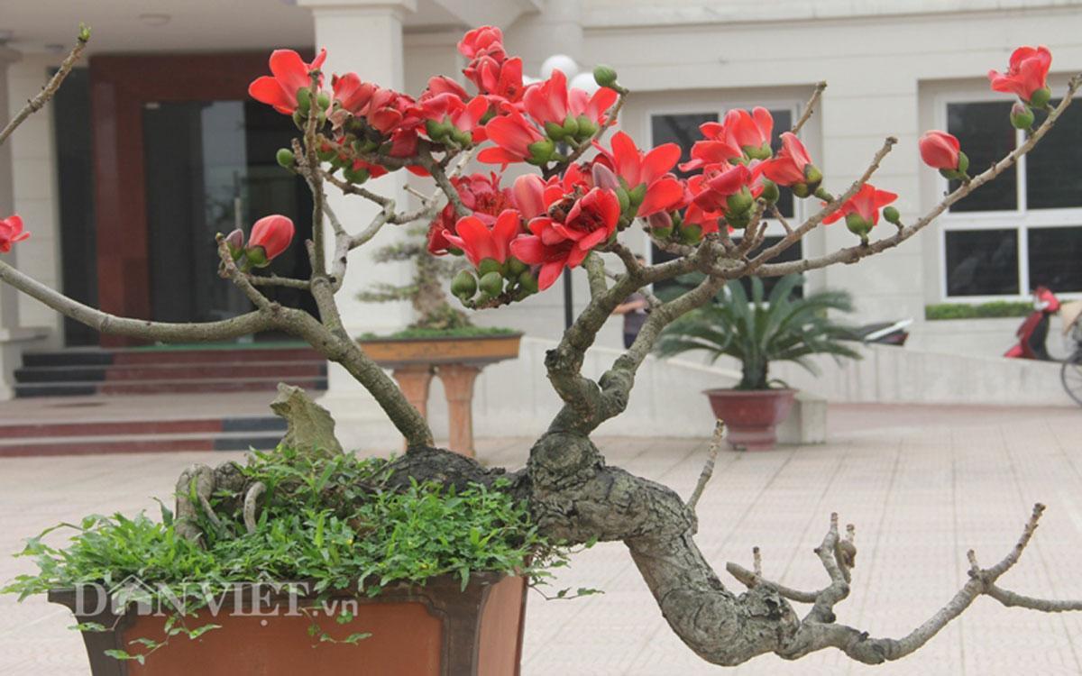"""ngam cay gao """"nhi"""" no hoa khien dan choi bonsai me man - 1"""