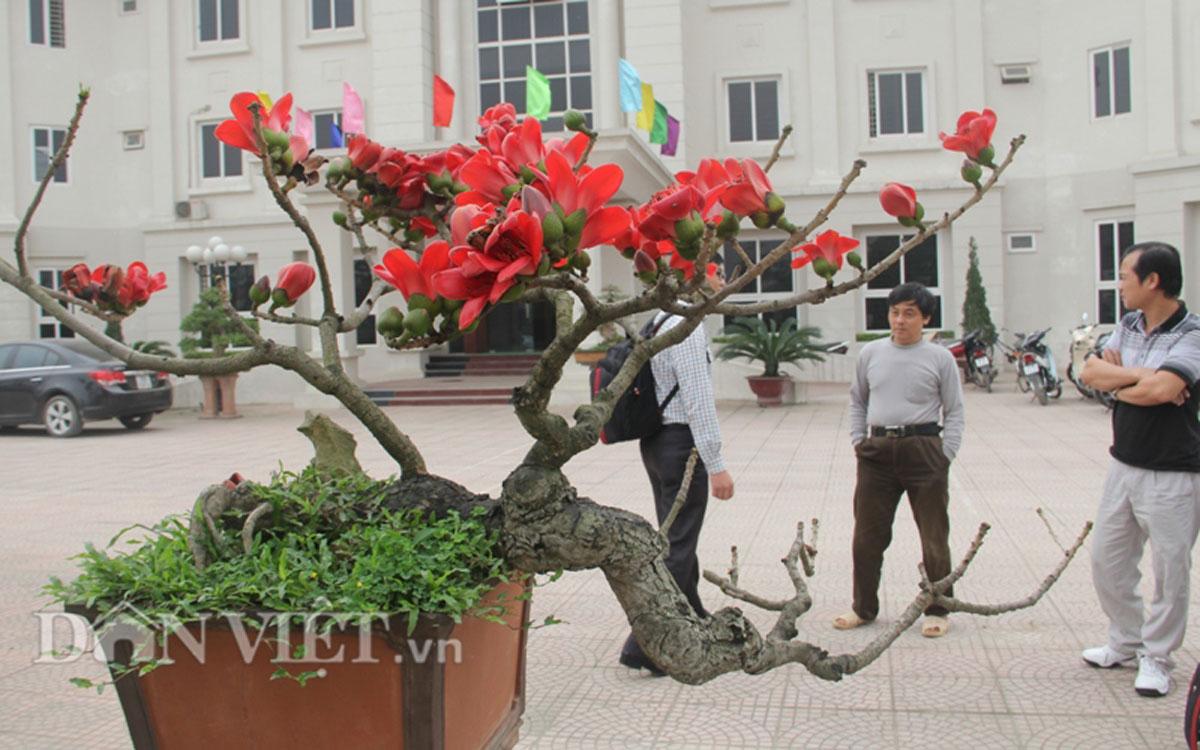 """ngam cay gao """"nhi"""" no hoa khien dan choi bonsai me man - 8"""