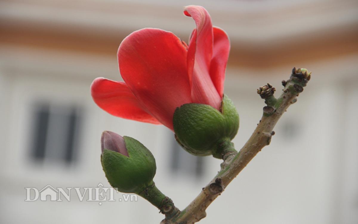 """ngam cay gao """"nhi"""" no hoa khien dan choi bonsai me man - 6"""