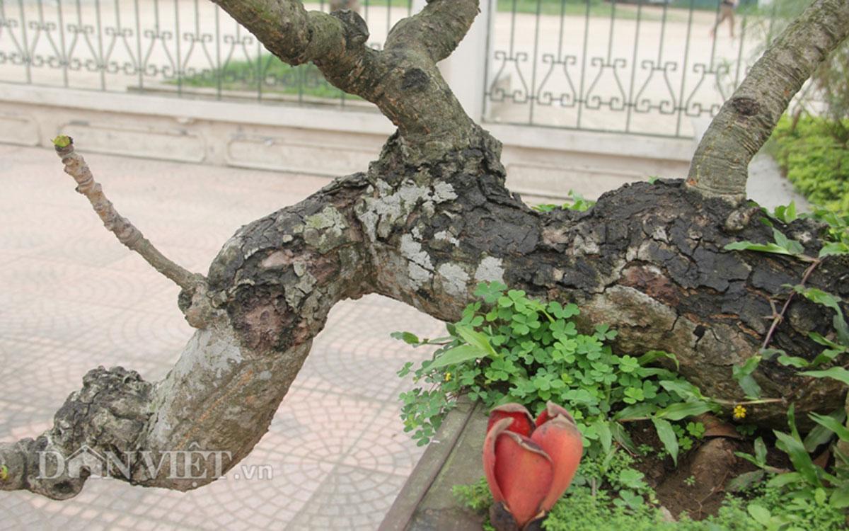 """ngam cay gao """"nhi"""" no hoa khien dan choi bonsai me man - 4"""