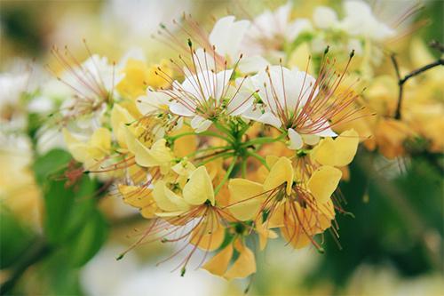 cay hoa bun hai mau khoe sac dau ha - 5