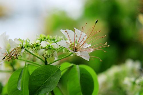 cay hoa bun hai mau khoe sac dau ha - 6
