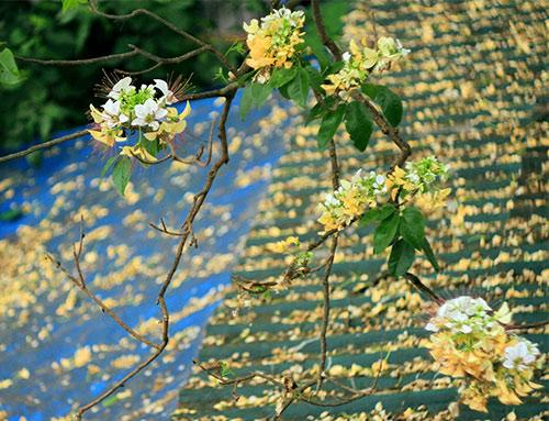cay hoa bun hai mau khoe sac dau ha - 4