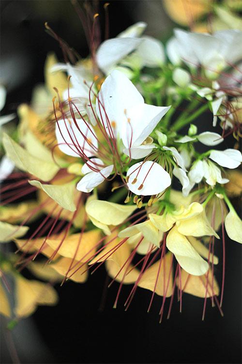 cay hoa bun hai mau khoe sac dau ha - 10