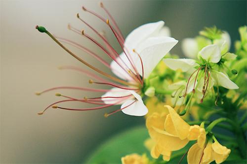 cay hoa bun hai mau khoe sac dau ha - 12