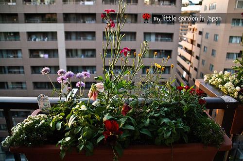 hoa no ruc ro nho vo chuoi, cong rau trong nha - 1