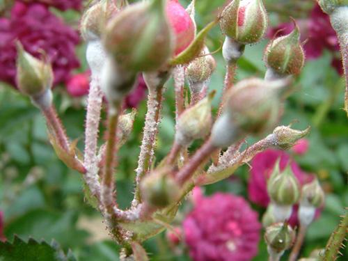 muoi no giup hoa hong khoe manh, 'phot' nhanh - 1