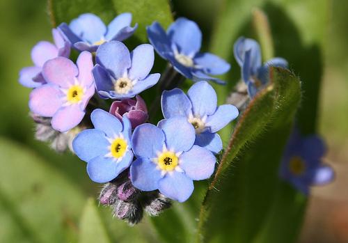 Nàng trồng hoa 'Xin đừng quên em' mong tình yêu chung thủy-1