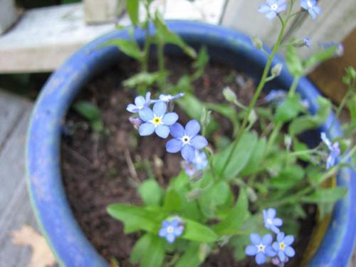 Nàng trồng hoa 'Xin đừng quên em' mong tình yêu chung thủy-4