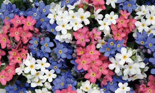 Nàng trồng hoa 'Xin đừng quên em' mong tình yêu chung thủy-2