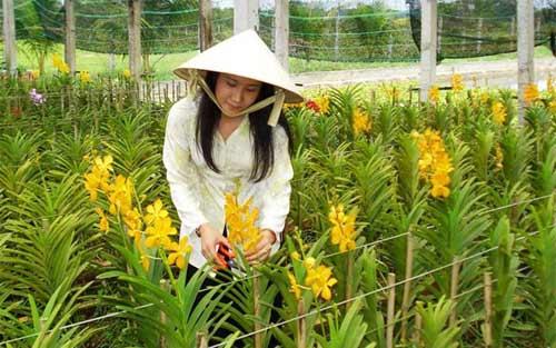 Loay hoay tìm giống tốt cho hoa lan-1