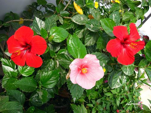 6 loài hoa đẹp thích hợp trồng ngày hè-3