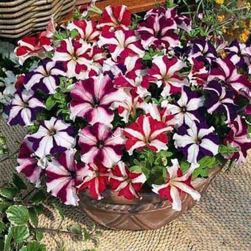 6 loài hoa đẹp thích hợp trồng ngày hè-5
