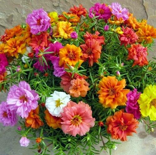 6 loài hoa đẹp thích hợp trồng ngày hè-6