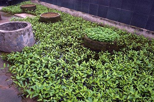 Rùng mình rau xanh trồng trên nghĩa địa ở Hà Nội-9