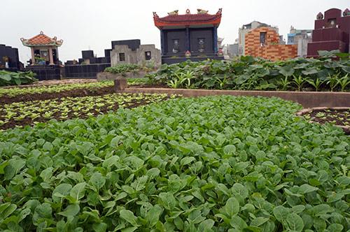 Rùng mình rau xanh trồng trên nghĩa địa ở Hà Nội-7