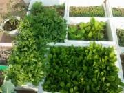 Cây cảnh - Vườn - Mãn nhãn vườn rau củ xanh mướt của cô giáo trẻ