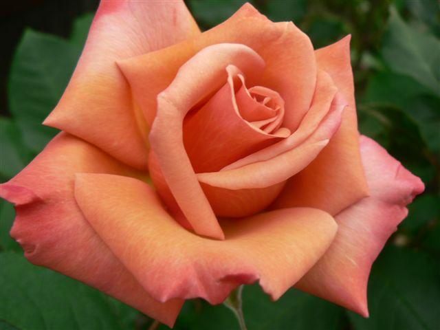 nen trong hoa hong ta hay hoa hong ngoai tai nha? - 4