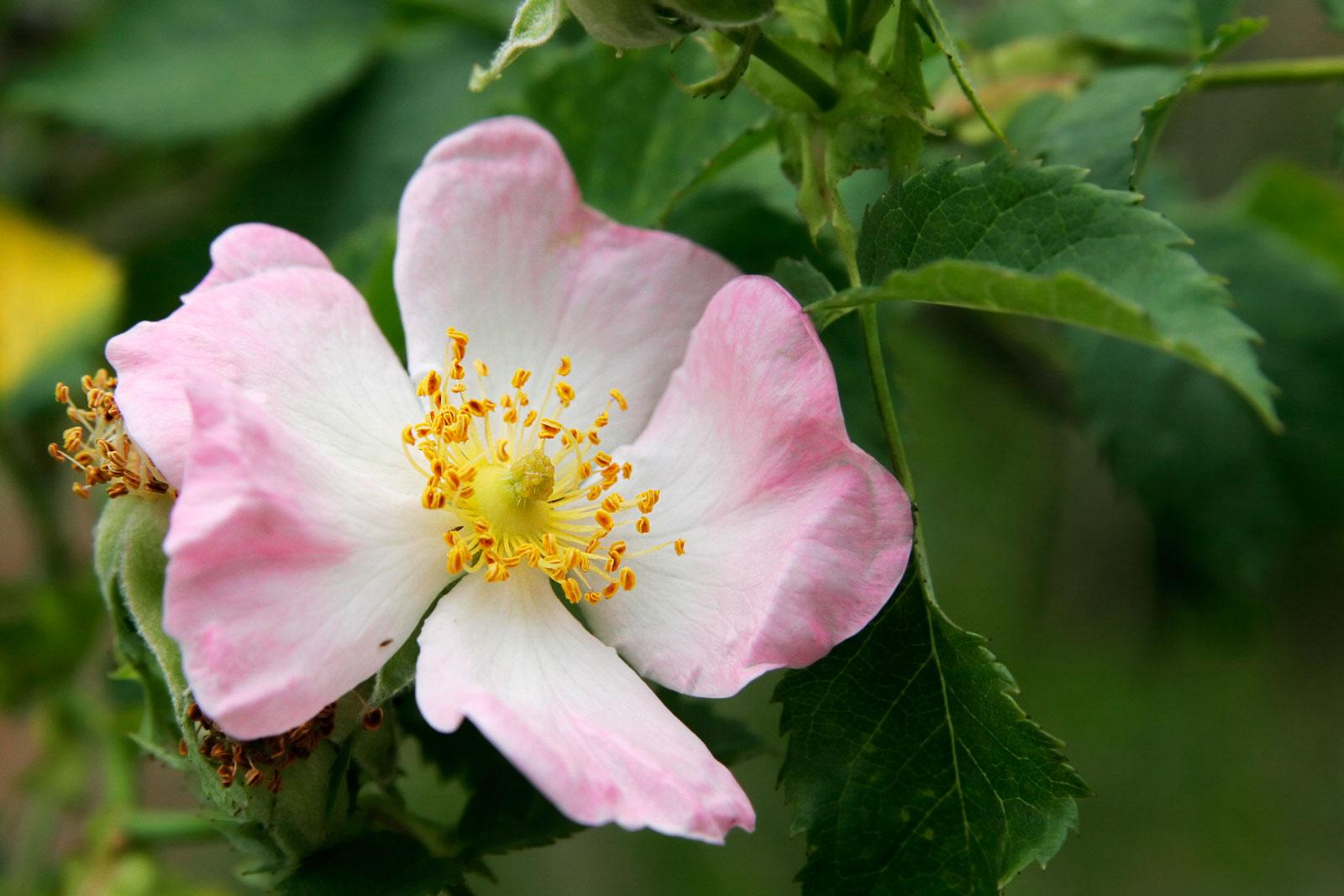 nen trong hoa hong ta hay hoa hong ngoai tai nha? - 2