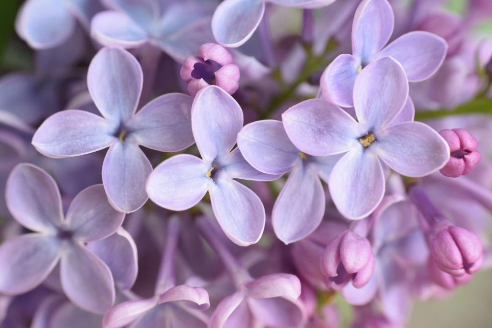 loai hoa may man cho 12 cung hoang dao - 2