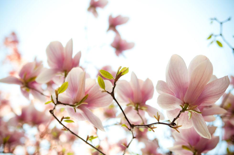 loai hoa may man cho 12 cung hoang dao - 9